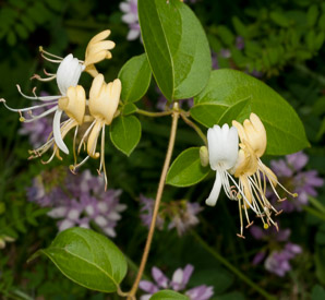 Lonicera japonica (Japanese Honeysuckle)