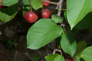 Malus ssp. (Crabapple, Ornamental Crabapple Tree)