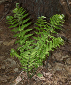 Osmunda claytoniana (Interrupted Fern)