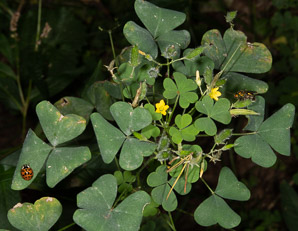 Oxalis stricta (Oxalis, Common Yellow Woodsorrel, Common Yellow Oxalis, Yellow Wood-Sorrel, Common Yellow Wood-sorrel)