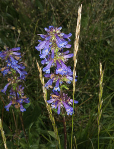Penstemon virgatus (Upright Blue Penstemon, Beardless Sidebells Penstemon)