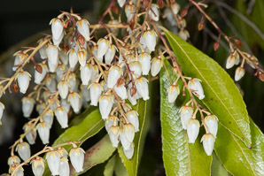 Pieris japonica (Japanese Andromeda, Lily-of-the-valley Bush)