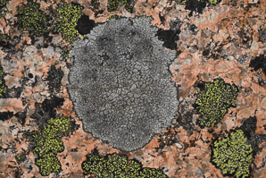 Rhizocarpon disporum (single-spored map lichen, map lichen)