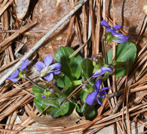 Viola sagittata (Arrow-leaved Violet, Northern Downy Violet)
