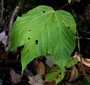 Acer spicatum (mountain maple)