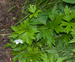 Anemone canadensis (Canada Anemone, Round-leaf Thimbleweed, Windflower, Meadow Anemone, Canadian Anemone)