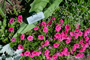 Calibrachoa 'Sunbelchipi' (Million Bells Cherry)
