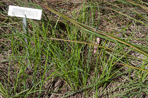 Carex nigra (black sedge, smooth black sedge)