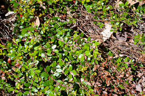 Gaylussacia brachycera (Box-huckleberry, Box-leaved whortleberry)