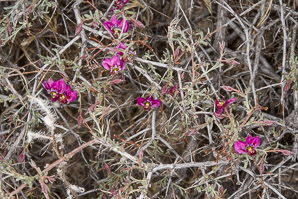 Krameria erecta (Pima Rhatany, Purple Heather, Littleleaf Rhatany)