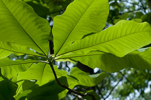 Magnolia fraseri (ear-leaved umbrella tree, fraser magnolia)