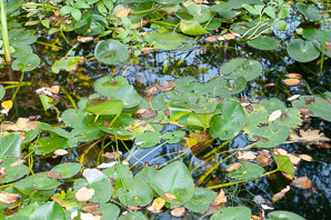 Nuphar lutea (Yellow Pond Lily, Spatterdock)