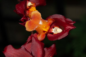 Oncidium 'Red