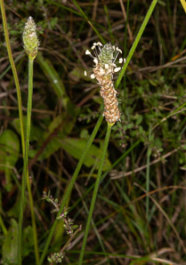 Plantago lanceolata (English plantain, ribwort plantain)