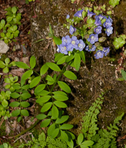Polemonium caeruleum (Jacob's Ladder, Greek valerian, Blue Bells, American Greek Valerian)