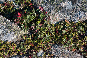 Vaccinium vitis-idaea (lingonberry, mountain cranberry, cowberry, foxberry, red whortleberry, low bush cranberry, low bush partridgeberry, partridgeberry)