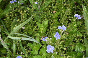 Veronica persica (Persian Speedwell)
