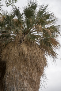 Washingtonia filifera (California Fan Palm, Desert Fan Palm, Cotton Palm, Arizona Fan Palm)