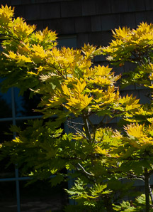 Acer shirasawanum (Golden Full Moon Maple)