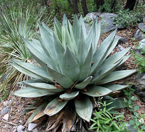 Agave parryi (Barrel Agave)