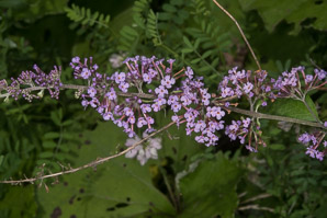 Buddleja davidii (Butterfly Bush)