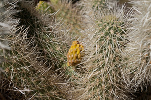 Cylindropuntia bigelovii (Teddy Bear Cholla, Teddybear Cholla, Chollo de Oso, Golden-spined Jumping Cholla, Guerra, Vellas de Coyote)