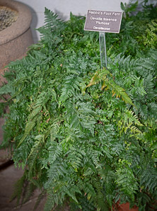 Davallia fejeensis (Rabbit's Foot Fern)