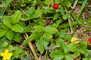 Duchesnea indica (Mock Strawberry, Indian Strawberry)