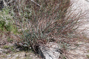 Eriogonum inflatum (Desert Trumpet, Indian Pipeweed, Bottle Stopper)