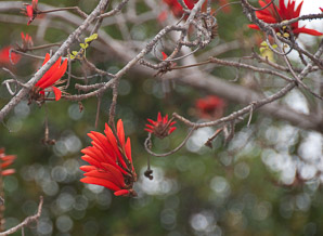 Erythrina (Coral Tree)