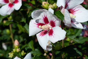 Hibiscus syriacus (Rose of Sharon)