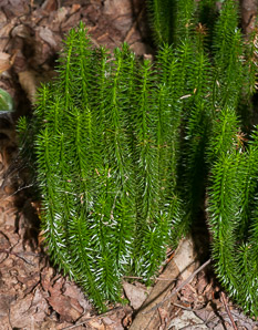 Huperzia selago (Northern Firmoss, Fir Clubmoss)