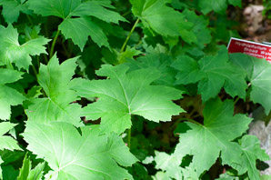 Hydrophyllum canadense (Broad Waterleaf, Maple-leaved Waterleaf)