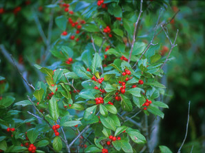Ilex aquifolium (English Holly, European Holly)