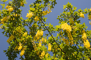 Laburnum anagyroides (Golden Chain, Golden Rain)