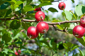 Malus pumila (Apple)