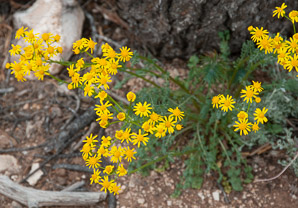 Packera neomexicana (New Mexico groundsel)