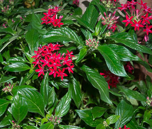 Pentas lanceola (Egyptian Star Flower)