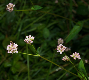 Polygonum sagittatum (Arrow Tearthumb)
