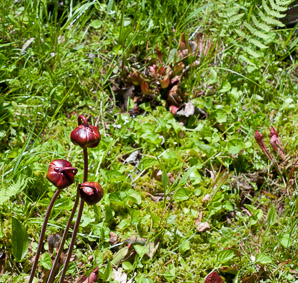 Sarracenia purpurea (Purple Pitcher Plant, American Pitcher Plant, Northern Pitcher Plant)
