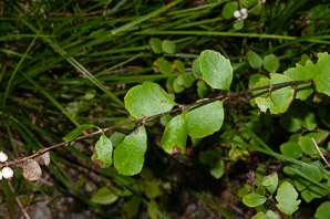 Symphoricarpos occidentalis (Western Snowberry, Wolfberry)