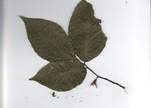 Tilia americana (Carolina Basswood)