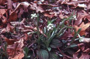 Antennaria plantaginifolia (plantain-leaved pussytoes, woman's tobacco)