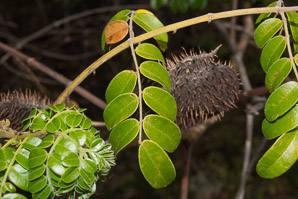 Caesalpinia bonduc (gray nicker, nickerbean)