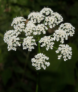 Cicuta maculata (Water Hemlock, Spotted Water Hemlock, Spotted Parsley, Common Water-hemlock)