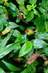 Commelina communis (Asian Dayflower)