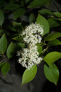 Cornus racemosa (Northern Swamp Dogwood, Gray Dogwood, Panicle Dogwood)