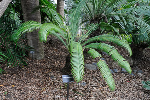 Dioon spinulosum (Giant Dioon)