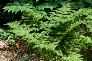 Dryopteris campyloptera (Mountain Wood Fern)