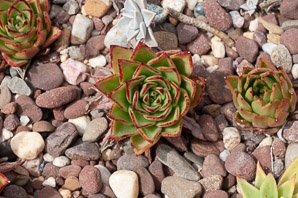 Echeveria agavoides (Moulded Wax)
